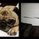 Pug Life: Separation Rage