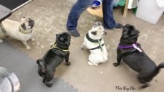 Puggy Playdate