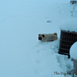 Pug Hates the Snow; Goes Crazy