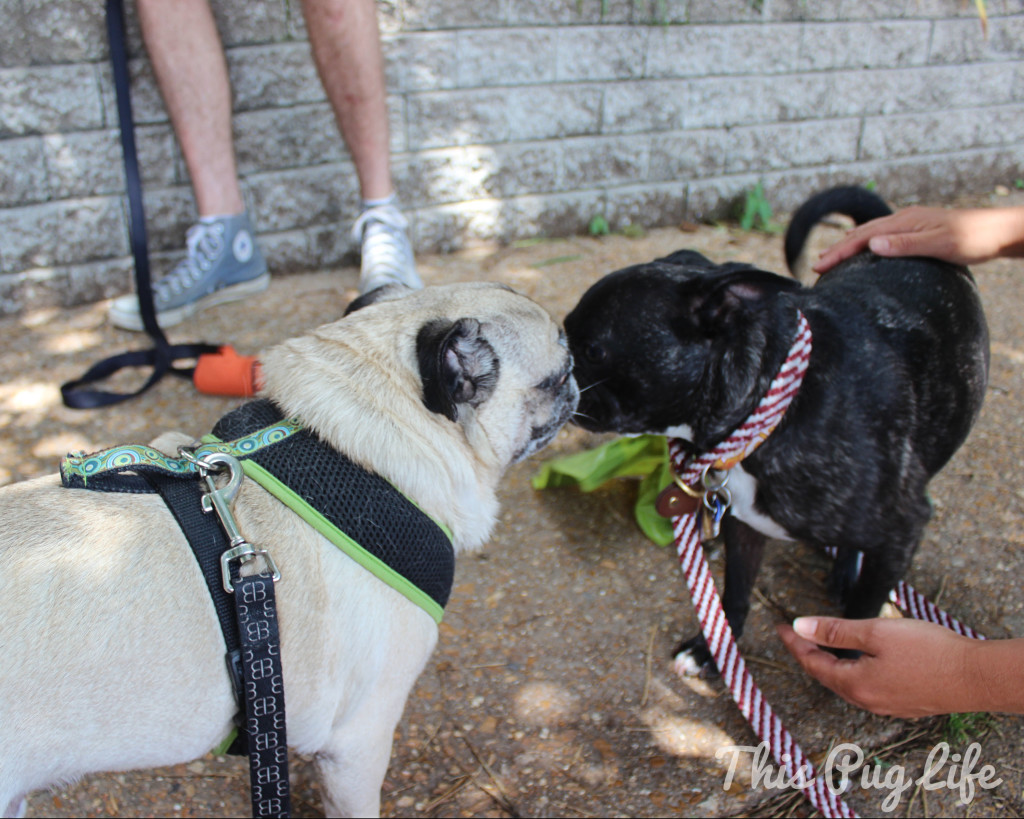 pug and pug boston terrier mix
