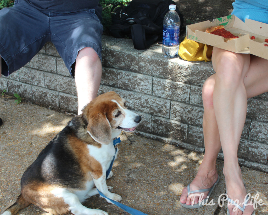 beagle begging for pizza