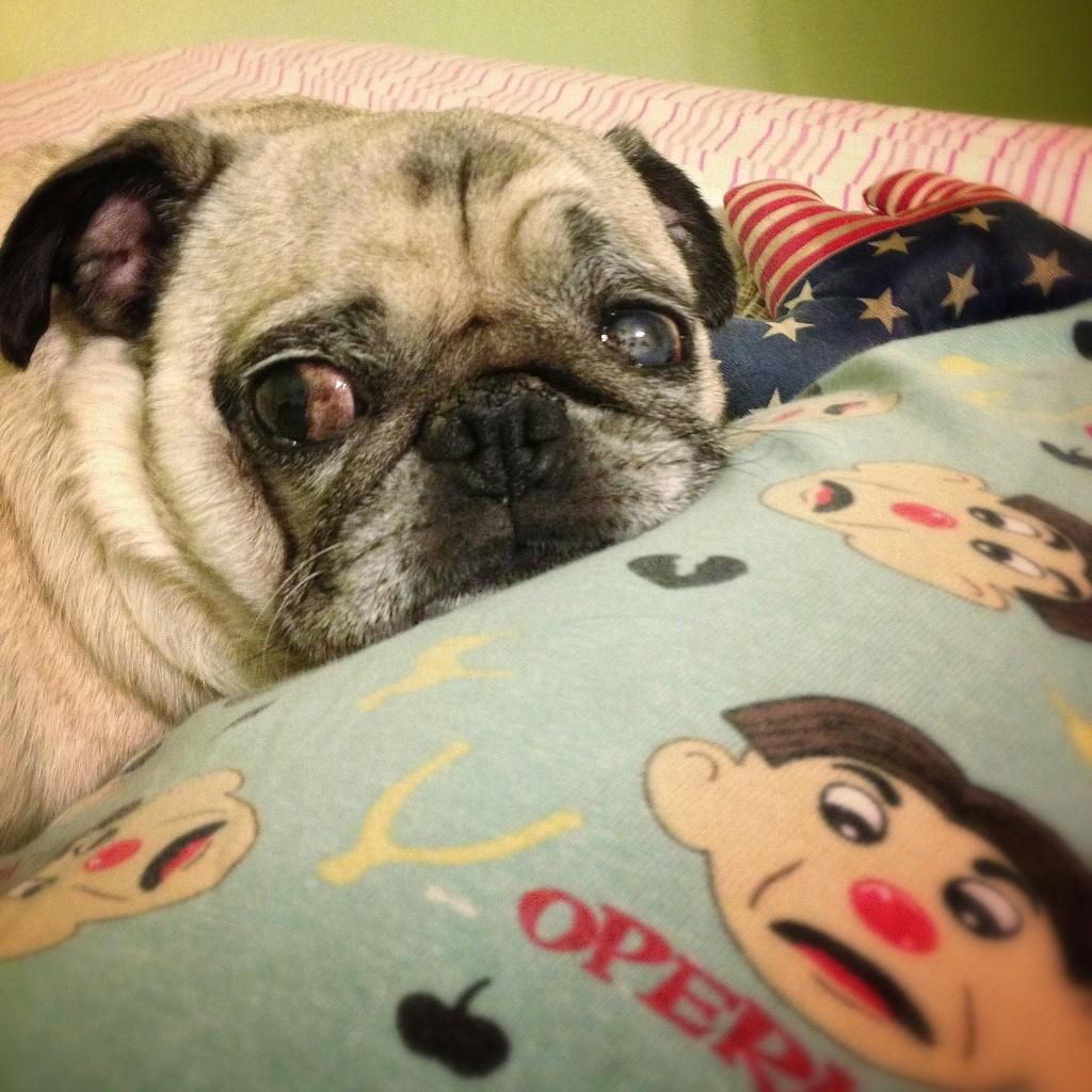 pug sulking