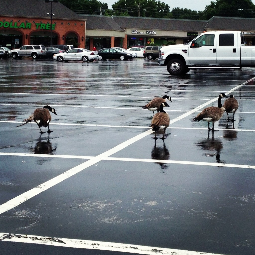 Geese in parking lot