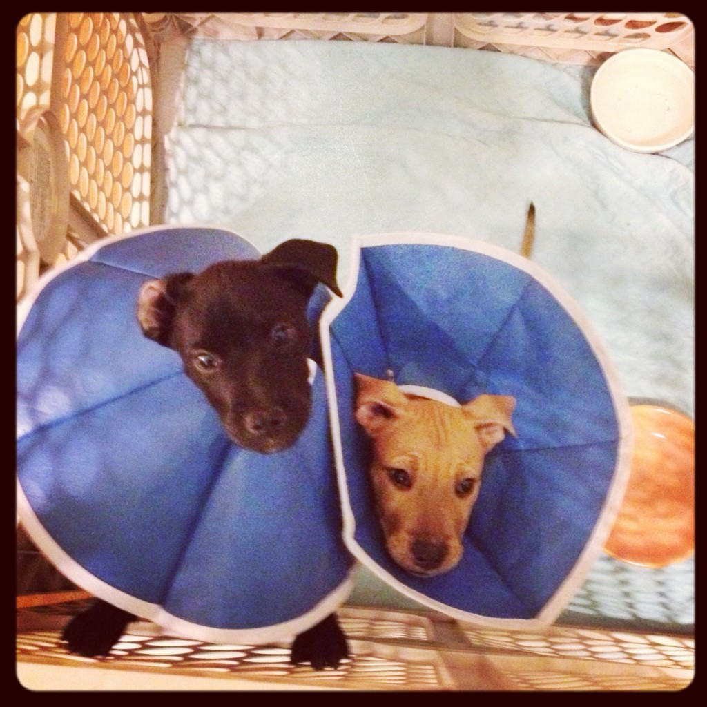 puppies wearing cone of shame