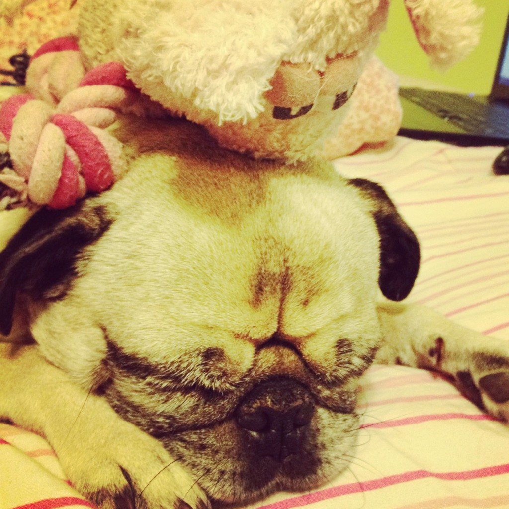 pug with toy on his head