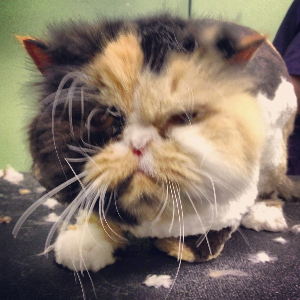 grumpy persian cat