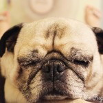 Pug's Day Off