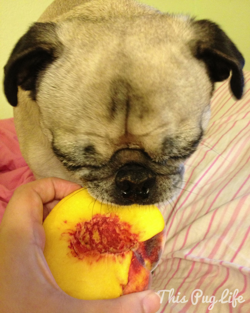 pug eating peach 2