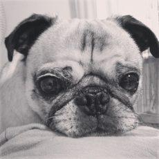 pitiful pug