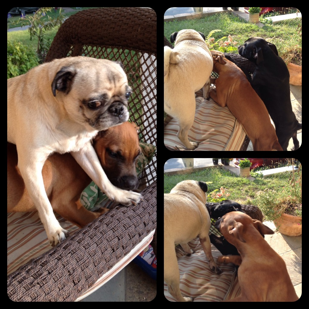 foster puppies and pug