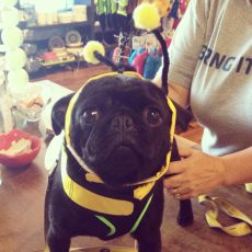 black pug bumble bee