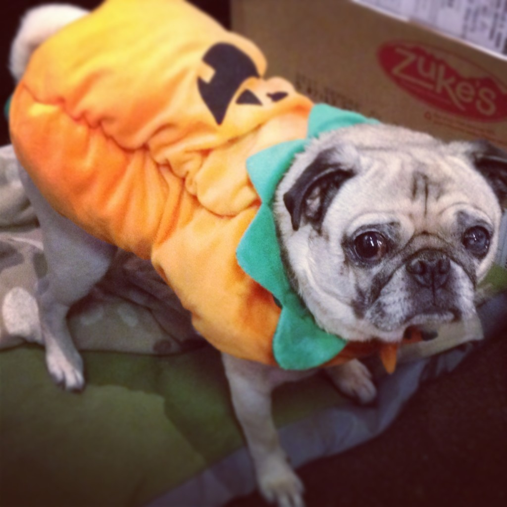 Pumpkin Pug