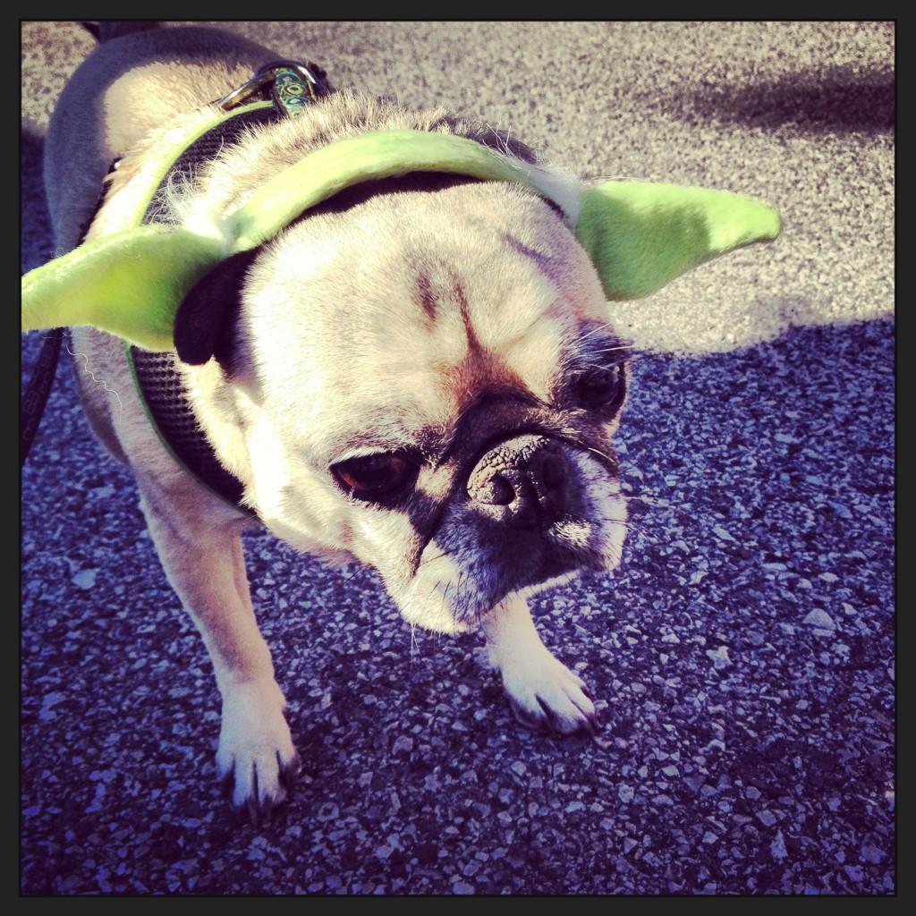 Yoda Pug