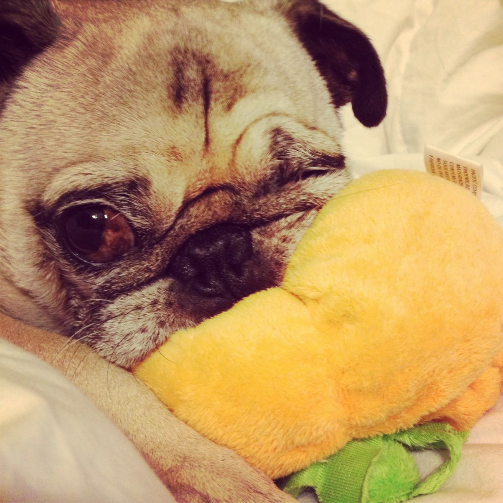 Pug Chewing Pumpkin