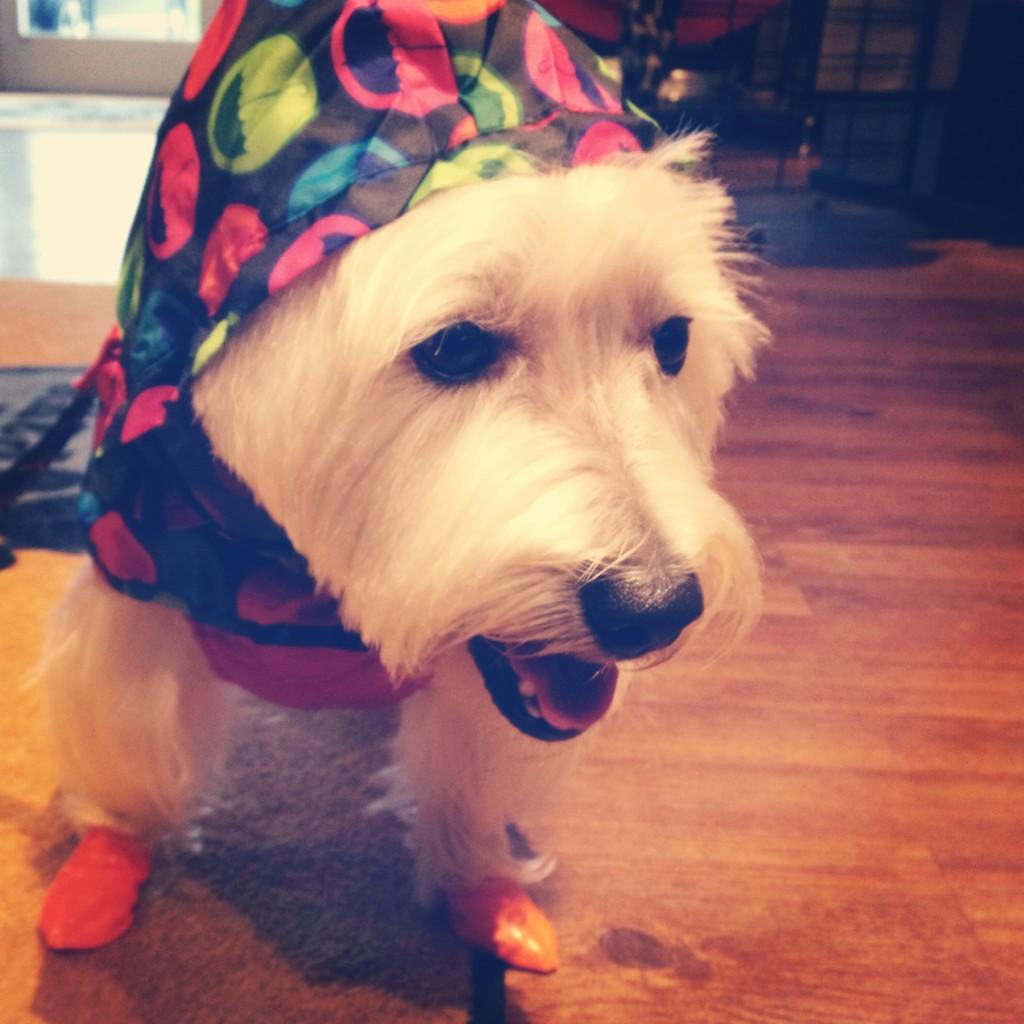 Westie in rain gear