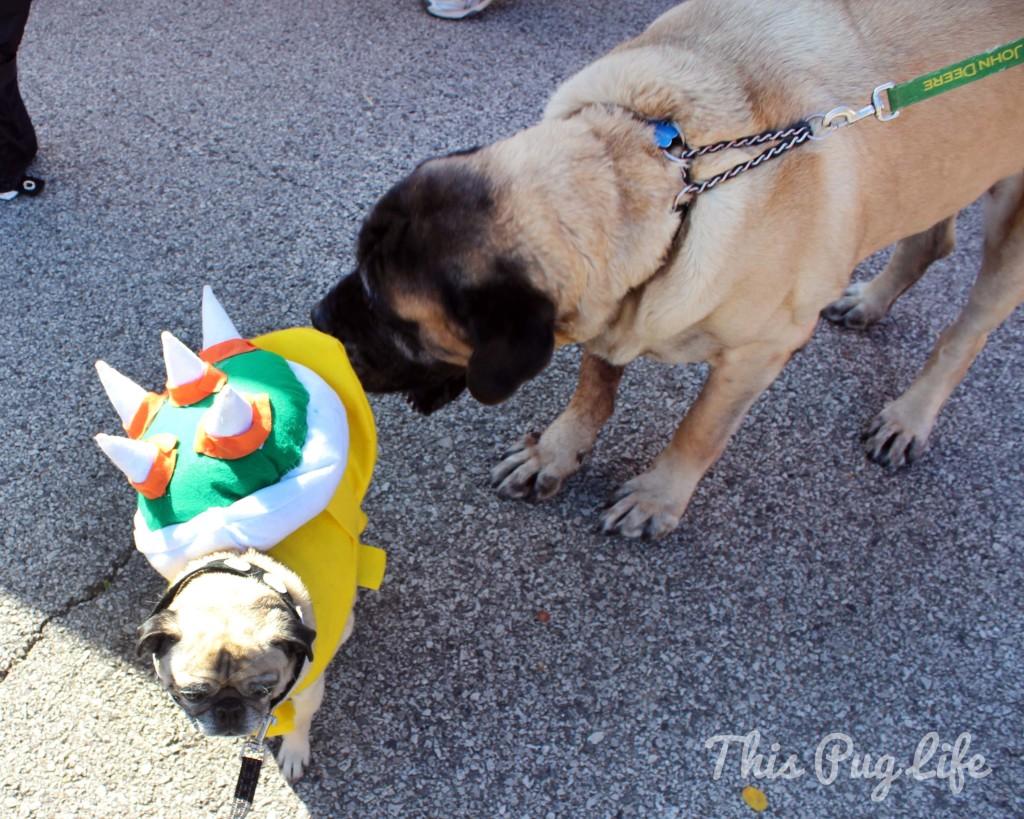 mastiff and pug