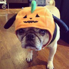 Pug O' Lantern