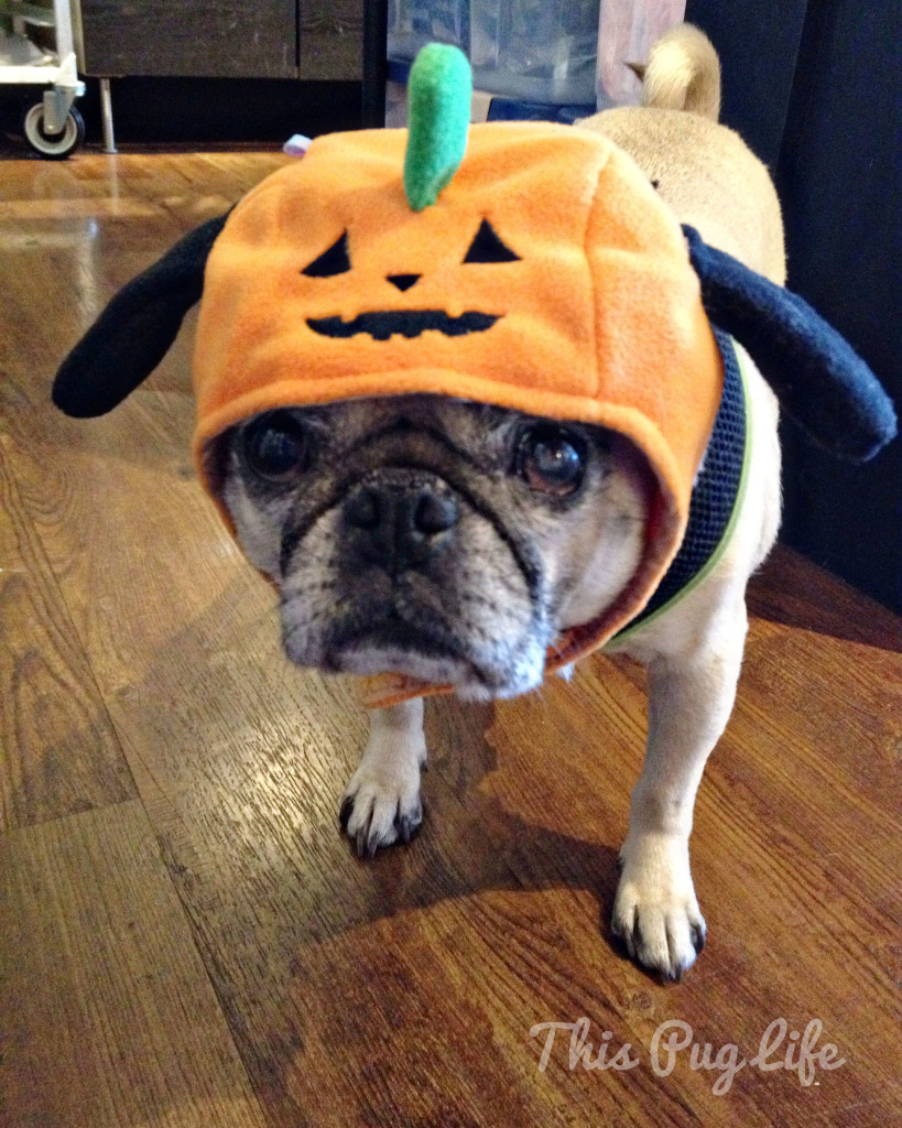 Pug with a Pumpkin Hat