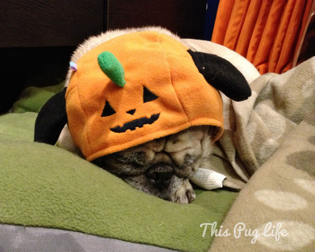 Pug with a Pumpkin Hat