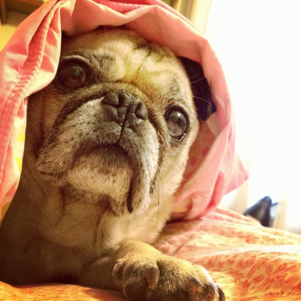 Blanket Pug