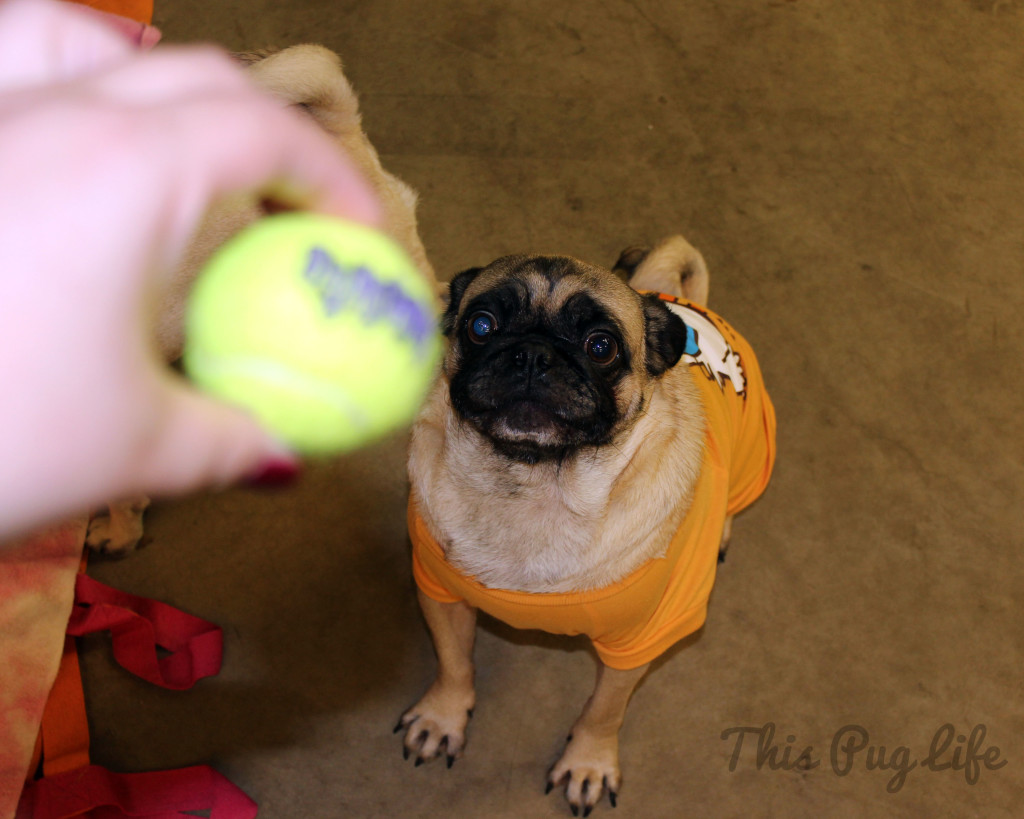 pug obsessed with tennis ball