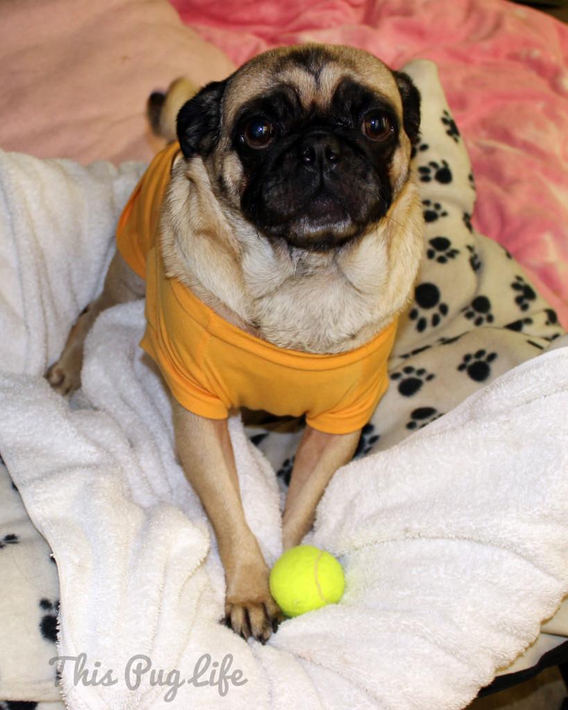 pug and tennis ball