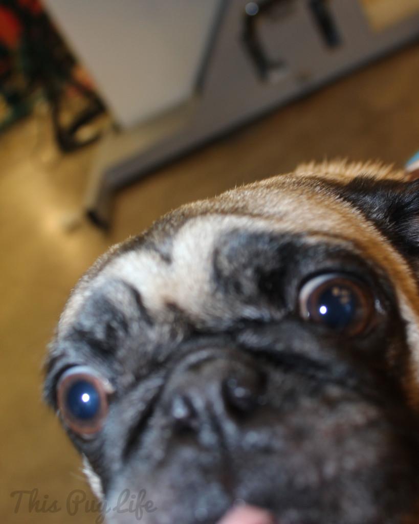 Pug extreme closeup