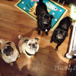 Impromptu Pug Party