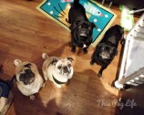 Impromptu Pug Party