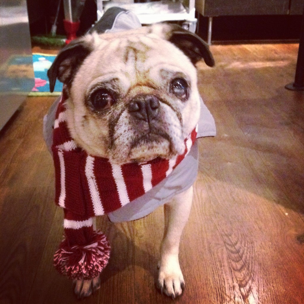 Pug Winter Fashion