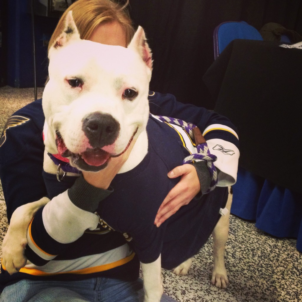 St. Louis Blues pit bull