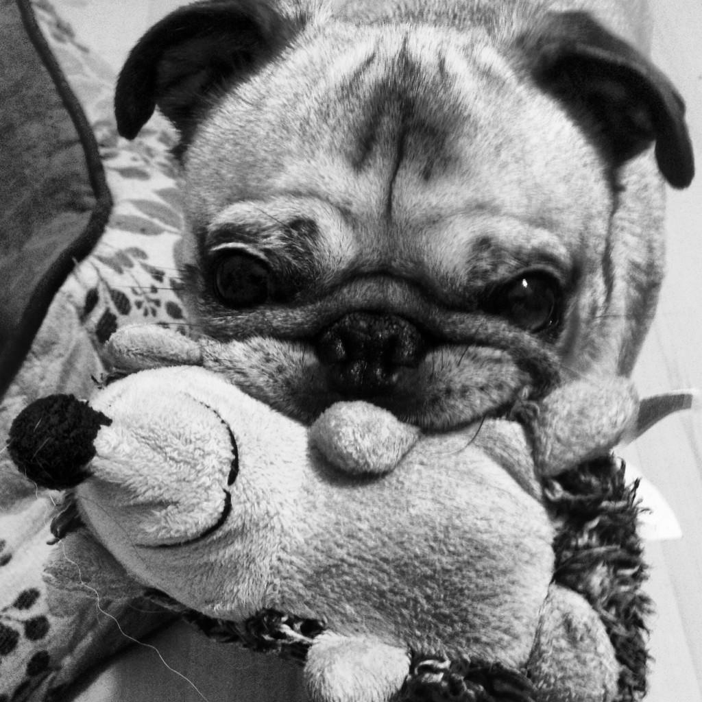 squish face pug