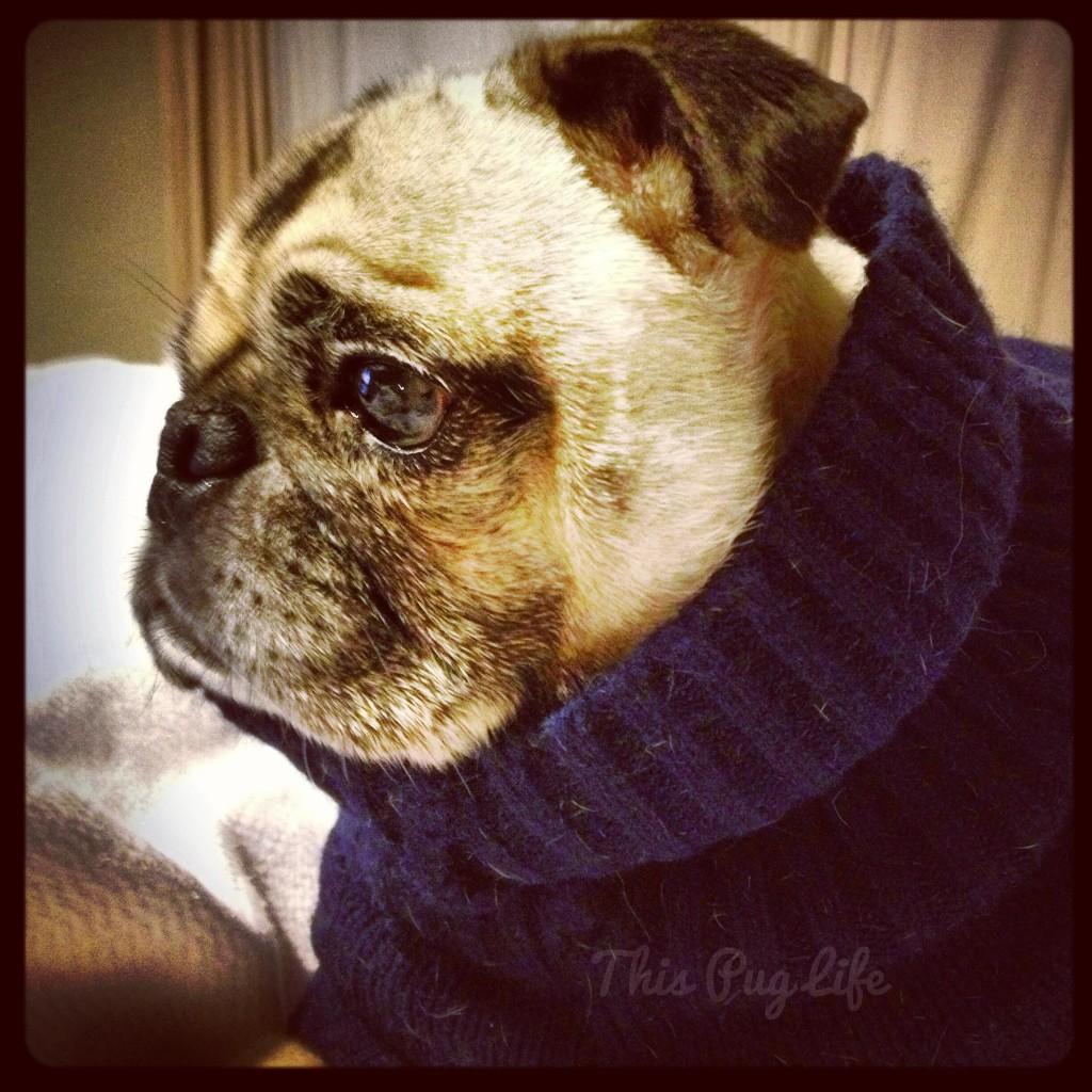 pug wearing sweater
