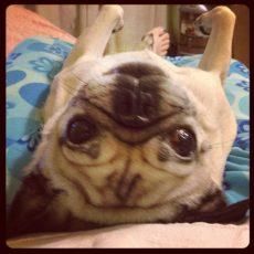 Upside Down Pug
