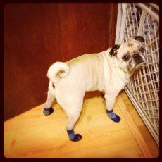 Pug in Pawks dog socks