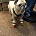 Pug in Boots