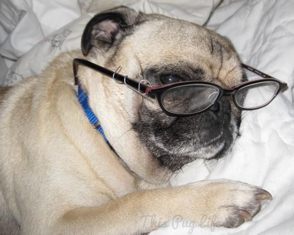 pug in glasses
