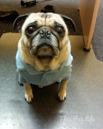 pug wearing polo shirt