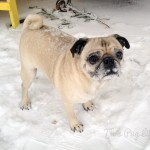 Pug vs. Snowmageddon