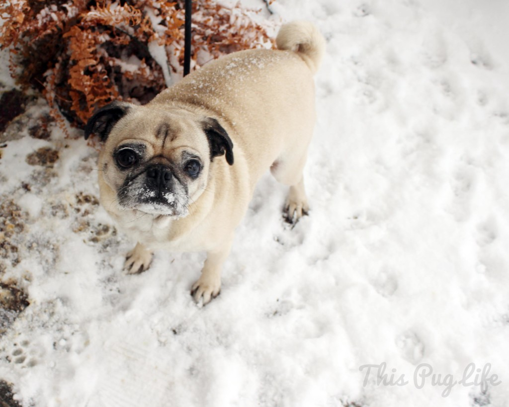 Pug Snow Mustache