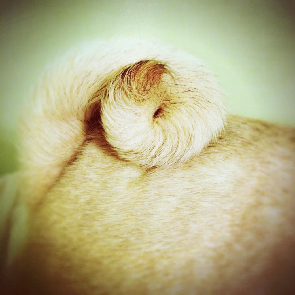 Pug Curl