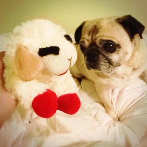 Pug and Lambchop