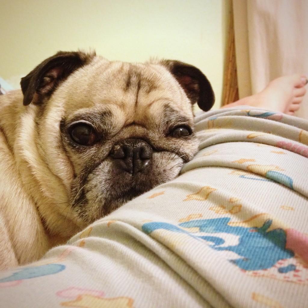 Lazy Pug