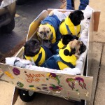 Minion Pugs at the Beggin' Pet Parade (video)