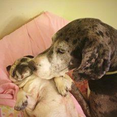 Pug and Great Dane