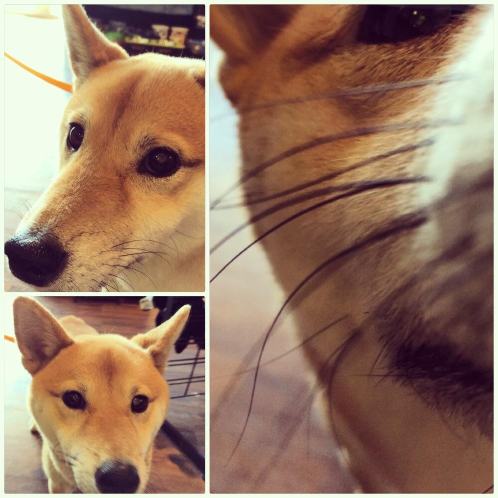 Shina Inu Doge