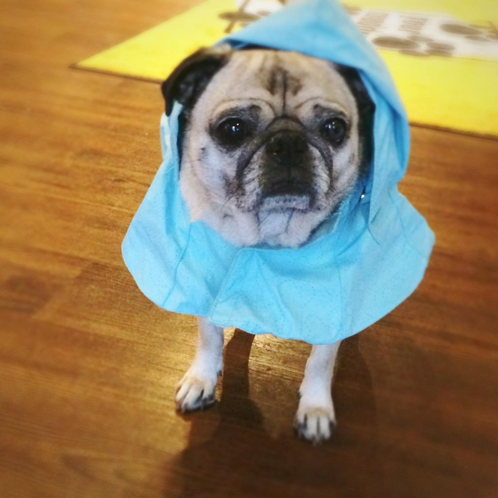 Pug Raincoat
