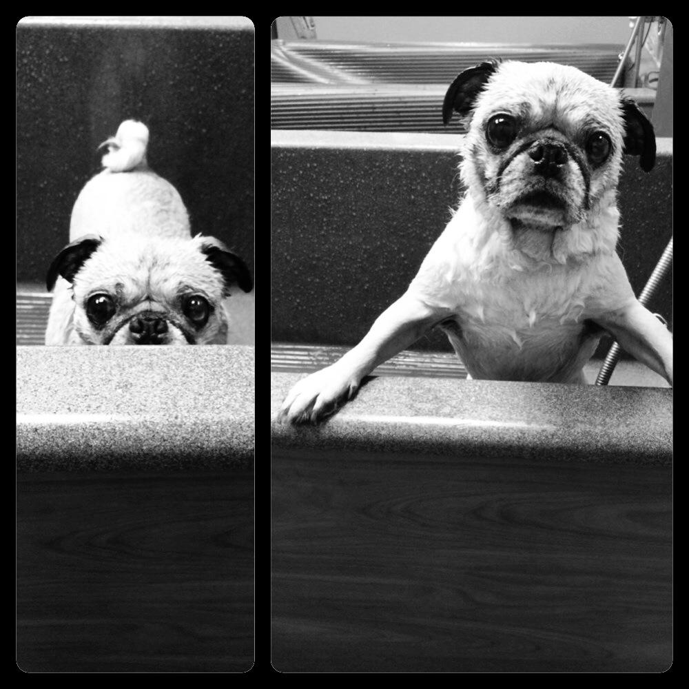 Sad Pug Bath