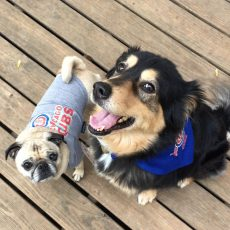 Chicago Cubs Pug