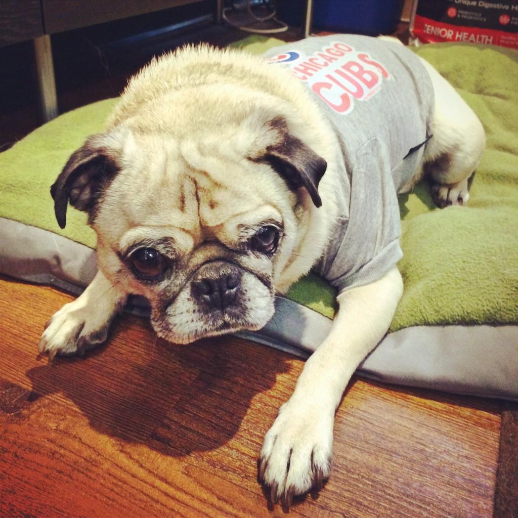 Chicago Cubs Pug